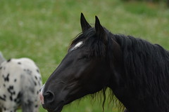 DSC_4627 (d90-fan) Tags: animals outdoors austria tiere sterreich natur pferde schnecke rauris fohlen hohetauern tauern krumltal murmeltiere raurisertal
