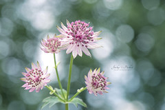 Astrantia major (Jacky Parker Floral Art) Tags: uk pink flowers plant macro closeup outdoors colorful bokeh nopeople freshness perennial selectivefocus naturephotography macrophotography astrantiamajor floralart masterwort fragility beautyinnature horizontalformat flowerphotography focusonforeground floralfriday nikond750