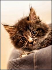 Buddha 8 weeks old (B. Versteeg) Tags: house cute eyes nikon kat maine indoor coon ogen huisdier kater lief jong haar d700