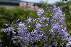 (DigiPub) Tags: agapanthus lilyofthenile   africanlily