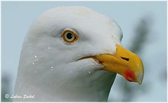 Header IV (lukiassaikul) Tags: wildlifephotography wildanimals wildbirds urbanwildlife birds largebirds seagulls herringgulls closeup head