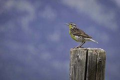 Western Weadowlark, Grand Teton National Park (HDRob) Tags: westernweadowlark meadowlark grandtetonnationalpark grandtetons bird wildlife