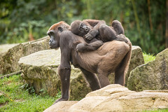 2014-09-19-11h30m39.BL7R8003 (A.J. Haverkamp) Tags: germany zoo gorilla hannover dierentuin mayumi westelijkelaaglandgorilla canonef100400mmf4556lisusmlens httpwwwzoohannoverde pobhannovergermany melima dob26031996 dob11042012