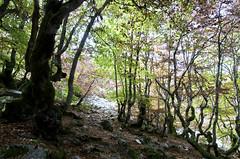 Hayedo de La Predrosa (ipomar47) Tags: wood españa forest spain woods pentax explore bosque segovia beech k5 haya riaza pedrosa castllaleon ruby10 ruby15 ruby20