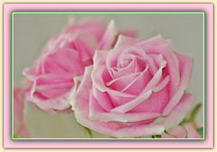 Soft Romance (bigbrowneyez) Tags: pink roses macro nature beautiful petals soft pretty antique gorgeous victorian natura romance special dolce myhouse bouquet lovely elegant tender tenderness delightful cornice elegance softromance fraome