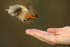 Coming in for a mealworm. Explored. (Sandra Standbridge.) Tags: wild robin inflight redbreast cominginforamealworm