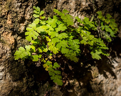 McKittrick 8 (Windswept.west) Tags: fern green guadalupemountainsnationalpark 60mmmacro mckittrickcayon nikond5200