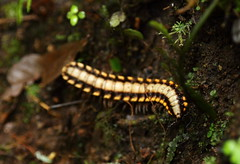 Centipede, Monteverde Cloud Forest (tik_tok) Tags: travel trees black green tourism latinamerica nature yellow forest insect outdoors costarica scenic nopeople jungle monteverde cloudforest naturalbeauty centipede puntarenas millipede touristattraction centralamerica centroamerica biologicalreserve