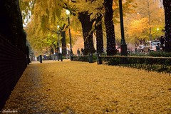 The yellow carpet.. (Shubhashish Chakrabarty) Tags: autumn yellow japan ginkgo 日本 yokohama 秋 minatomirai 横浜 みなとみらい 黄色い