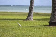 Egret (briankmoulton) Tags: oahu kualoaregionalpark
