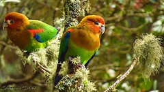 near endemic, Rusty-faced Parrot, at Reserva Dusky Starfrontlet at Urrao (Antioquia) western andes (OSWALDO CORTES -Bogota Birding and Birdwatching Co) Tags: fauna colombia sib biodiversidad nearendemic rustyfacedparrot atreservaduskystarfrontletaturraoantioquiawesternandes