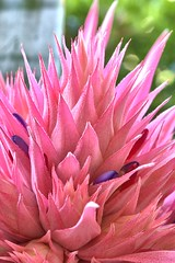 BROMELIADS IN FLOWER AT HOME (16th man) Tags: flower macro canon eos australia qld queensland bromeliad toowoomba westbrook pinkbromeliad eos5dmkiii