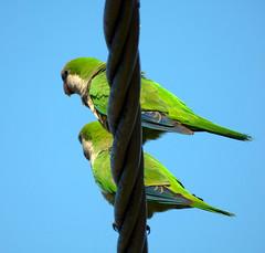 LAS COTORRAS. (jagar41_ Juan Antonio) Tags: aves ave animales cotorra