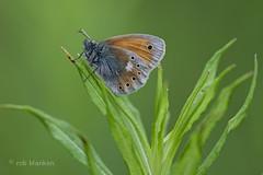 Eastern Large Heath (Coenonympha rhodopensis, Balkanhooibeestje) (Rob Blanken) Tags: macro butterfly bulgaria heath coenonympharhodopensis nikond800 sigma180mm128apomacrodghsm balkanhooibeestje balkanlargeheath