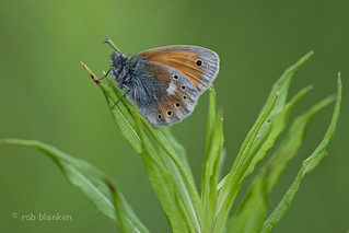 Eastern Large Heath (Coenonympha rhodopensis, Balkanhooibeestje)