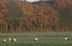 Stork (Harry Mijland) Tags: holland nederland maarssen oudzuilen dearharry harrymijland