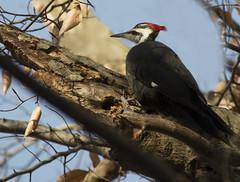 Pileated Foraging (Fredmiller13) Tags: columbus ohio woods woodpecker wildlife pileated blacklickwoodsmetropark