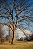 Tree in Indian mounds (Coh3n) Tags: trees nativeamerican indianmounds hugetree newarkohio