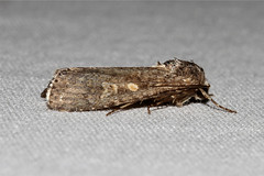 Spodoptera exigua (Beet Armyworm Moth) Hodges # 9665 (Nick Dean1) Tags: insect washington moth insects lepidoptera washingtonstate arthropods animalia arthropoda everett arthropod hexapod insecta washingtonusa hexapods hexapoda 9665 spodopteraexigua southeverett hodges9665 beetarmywormmoth
