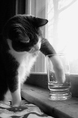 The Water Thief (peterkelly) Tags: bw ontario canada window water glass digital cat bed paw sill reaching guelph mug northamerica thecatwhoturnedonandoff notyourusualstilllife littledoglaughednoiretblancet