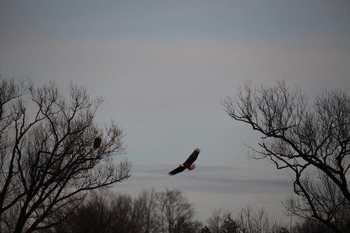 Two bald eagles in Kitchener, Ontario