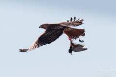 Red Tailed Hawk flies off with dead coot in its talons