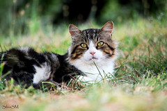 Lovely cat (silvia_samo) Tags: portrait pet cute green eye nature beautiful beauty face look grass animal cat garden fur mammal nose grey eyes pretty sweet outdoor head adorable domestic mainecoon tele resting curious lovely