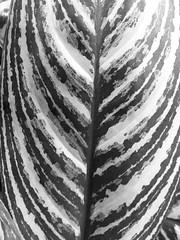 (John Donges) Tags: flowers blackandwhite plants leaf pattern longwoodgardens