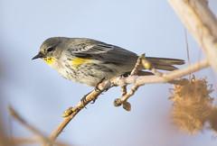 My first Butter Butt (Hockey.Lover) Tags: birds alamedacounty yellowrumpedwarbler myfrontyard