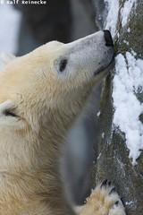 Polar Bear - Zoo Schonbrunn January 2015 16 (reineckefoto) Tags: vienna wien schnee winter snow polarbear eisbr zooschnbrunn