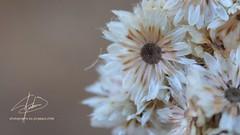 Siemprevivas (SOBREVALORADO) Tags: chile flowers flores flower primavera canon spring flora plantas flor campo silvestre vegetacin campestre villaalemana marchito floracin