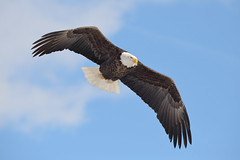 American Bald Eagle, LeClaire, Iowa [6783] (cl.lin) Tags: nature nikon eagle wildlife iowa mississippiriver birdsinflight americanbaldeagle birdinflight leclaire lockdam14 ld14 lockanddamno14
