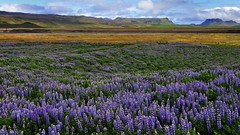 Lupins on Iceland (flowerikka) Tags: mountains clouds landscape iceland lupins violett