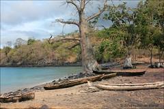 IMG_7674 Lagoa Azul - Adansonia digitata (Raiwen) Tags: coastline africa centralafrica sãotomé sãotoméepríncipe adansoniadigitata adansonia bombacoidea malvaceae malvales baobab