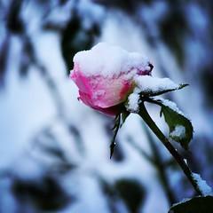 Nieve en jardn (pauli.lazo) Tags: naturaleza garden nikon nieve rosas aos nikonistas beatifulcapture naturalezacautivadora