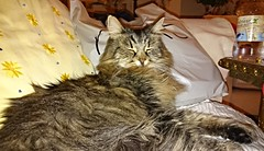 Tabitha the Cat (DudeWithACamera_) Tags: cats cute cat fur happy furry kitten tabby pussy adorable fluffy peaceful content happiness fluff whiskers purr paws tabitha tab purrs