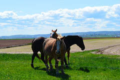 Horses Of Kings County (TheNovaScotian1991) Tags: horse canada animal clouds spring novascotia farm fields annapolisvalley grandpre greengrass nikond3200 kingscounty