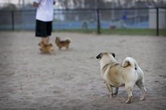 They Did Not Want to Play With Him (Deep-Fried Goodness) Tags: dog cute pug dexter
