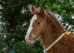 Baby Shire (Chris Sweet 85) Tags: horse nikon shire shirefoal nikond7100