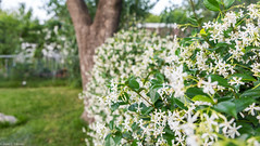 May flowers (josecdimas) Tags: white flower may fenceline