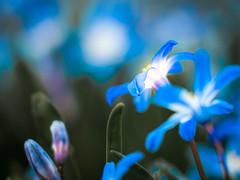 glow (StadtKind - capture the Bokeh) Tags: flowers flores macro fleur closeup germany munich bavaria petals europe dof bokeh depthoffield nymphenburg doublefantasy stadtkind bokehlicious trioplan10028 meyeroptikgrlitztrioplan10028 olympusem10markii