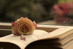 Old books and roses on a rainy day.... (eleni m (sorry if I can't keep up)) Tags: old flowers stilllife flower window rose table outside book petals boek stilleven indoor roos raindrops blaadjes eleni windowsill oud windowpane bloemen vensterbank ruit regendruppels