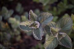 366-130 (bine77) Tags: green nature canon tea natur mint pancake 24mm grn tee projekt peppermint pfefferminze minze 366 eos100d