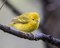 Yellow Warbler (J.B. Churchill) Tags: birds us unitedstates maryland places allegany flintstone taxonomy yellowwarbler warblers yewa rockygapsp