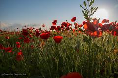Poppies !! (antoninao) Tags: verde canon orlando tramonto nuvole cielo boke rosso azzurro luce abruzzo papaveri antonina boccioli spoltore 5dmarkiii