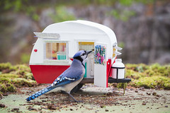 Victoria Day long weekend is coming in Canada and Mr. Blue wants to go camping. (Nancy Rose) Tags: miniature replica trailer 0350 vintageshastacamper imadethisformysquirrels