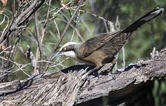 grey-crowned babbler (Fat Burns  (gone bush)) Tags: bird nature fauna er australianbird babb barcaldine australianfauna greycrownedbabbler pomatostomustemporalis lagooncreek nikon8004000mmf4556 nikond610 omatostomustemporalis