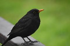 Turdus merula (common blackbird) (M. Georgiev) Tags: park city bird turdusmerula blackbird citybird commonblackbird