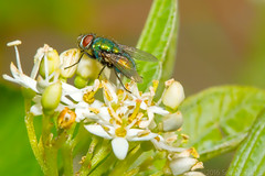 Green Bottle Sips Honeysuckle (raypainter) Tags: scotttucker greenbottlefly tinygame canon animals arthropod bug bugs colorado diptera ef100mm eos70d flies fly insects macro micro microfauna nature outdoors raypainter wildlife