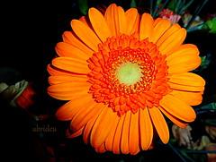Orange Gerbera (abrideu) Tags: abrideu panasonicdmctz20 gerbera orange flower flowers depthoffield indoor plant macro ngc npc